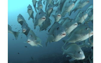 Picture of School Of Snappers Mafia Island