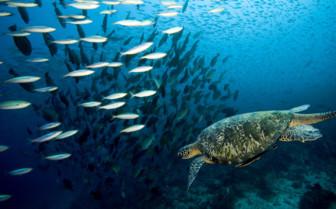 Picture of School of fish and turtle Mafia Island Tanzania
