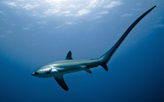 Picture of Thresher shark Malapascua