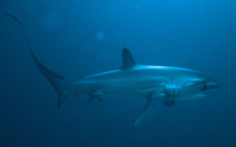 Picture of Thresher shark close up Malapascua