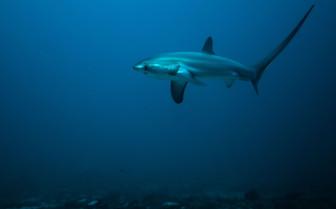 Picture of Thresher Shark