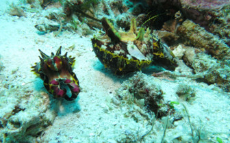 Picture of Flamboyant cuttlefish Malapascua