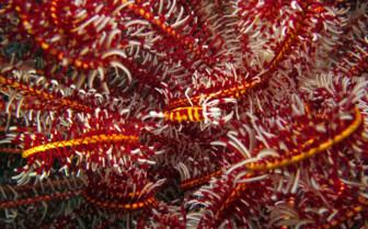 Picture of Marine life Malapascua
