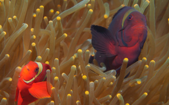 Picture of Anemone fish Bohol