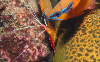 Picture of cleaner shrimp Bohol