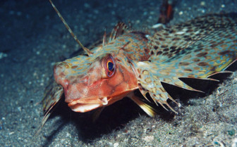 Picture of flying gurnard Tubbataha reef