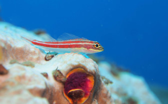 Picture of Goby Palawan