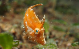 Picture of juvenile file fish Palawan