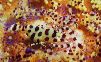 Picture of Coleman shrimp Puerto Galera