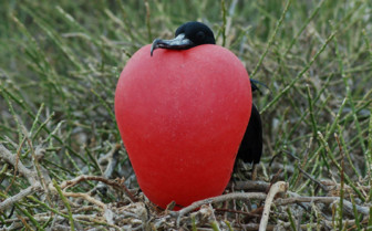 Picture of a Frigate bird Galapagos