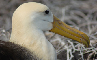 Picture of Galapagos Albatross