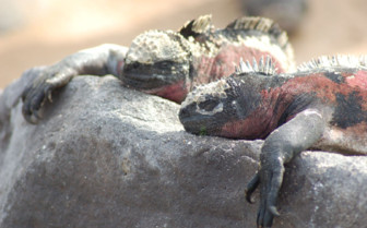 Picture of a marine iguana in the Galapagos
