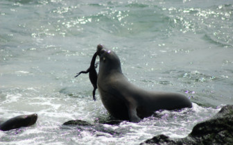 Picture of a sea lion in the Galapagos