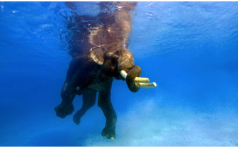 Picture of swimming elephant Andaman Islands