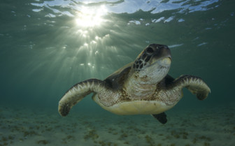 Picture of turtle and sun on Lord Howe Island