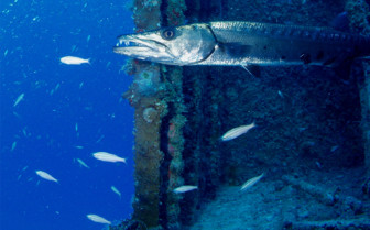Picture of a barracuda in the Florida Keys