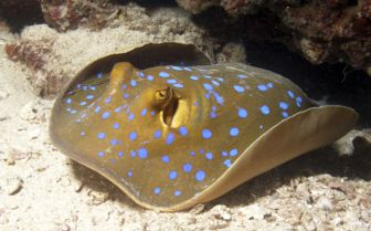 Blue Spotted Ribbon Tail Ray, Djibouti