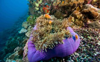 Large pink anemonefish