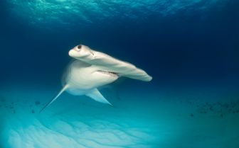 Hammerhead shark ocean floor
