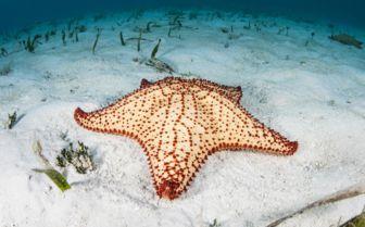 Caribbean diving starfish