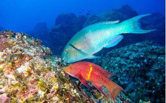 Parrot Fish Underwater