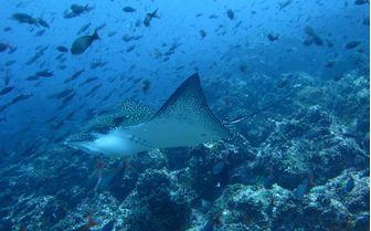 Manta Ray, Galapagos