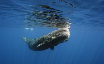 Diving with humpback whale