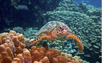 Sea turtle Underwater, Egypt