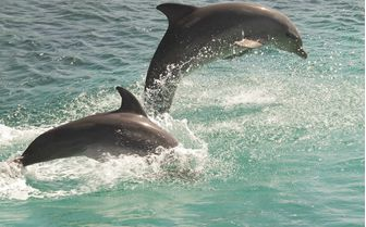 Dolphins in Andros