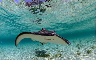 Eagle Ray Underwater, Abacos Island