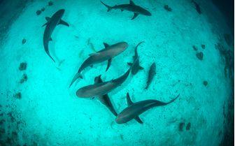 Sharks Underwater, Bahamas