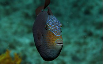 Trigger Fish Underwater