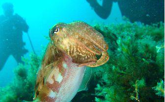 Cuttlefish Underwater
