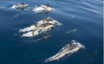 Dolphins, Azores