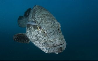 Goliath Grouper Diving
