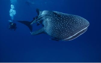 Diver with Whale Shark