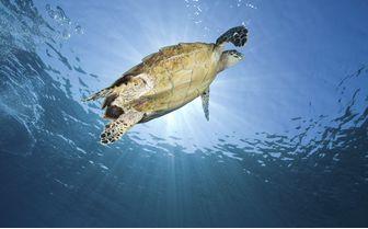 Turtle Swimming, Indonesia