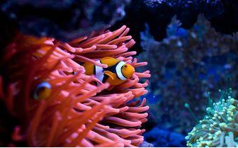Clown Fish, Malaysia