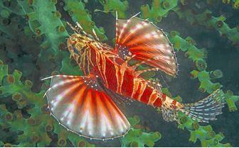 Venomous Reef Fish, Philippines
