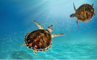 Turtles Swimming, Maldives