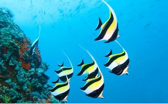 Moorish Idol Fish, Seychelles