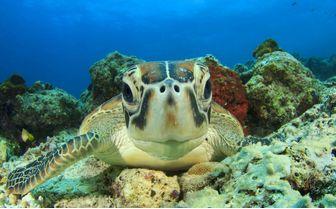 Sea Turtle, Australia