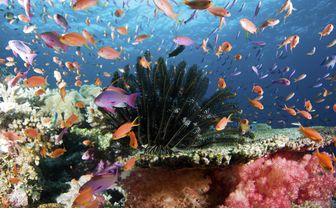Anthias Aquarium, Fiji