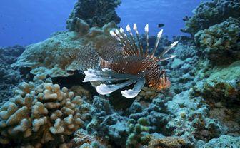 Lionfish, French Polynesia