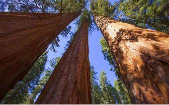 Red Birch Trees, California, USA