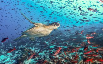 Turtle Swimming with Fish