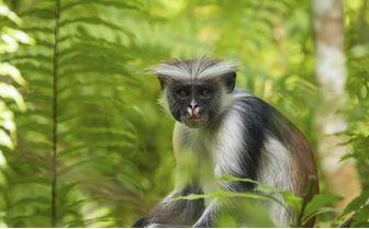 Monkey, Zanzibar