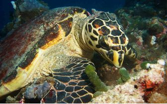 Turtle Eating, Maldives