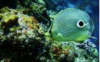 Coral Fish Underwater