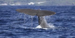 Azores Sperm Whale